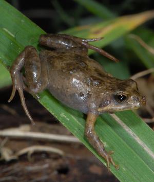 Crinia frog